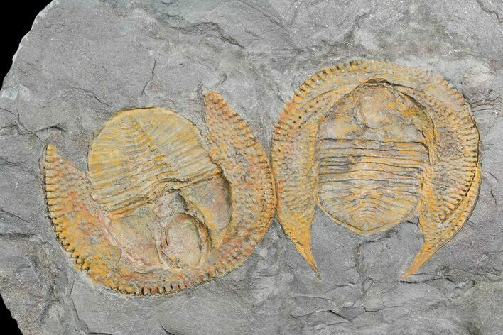 Two Orange Nankinolithus Trilobite (Pos/Neg Split) Morocco
