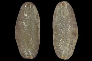 "Buy 2.9"" Pecopteris Fern Fossil (Pos/Neg) - Mazon Creek - #92269"
