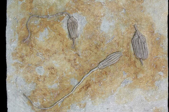 Five Crinoid Fossils (Three Species) - Crawfordsville, Indiana