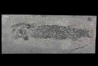 "Buy 6.3"" Devonian Lobed-Fin Fish (Osteolepis) - Scotland - #92581"