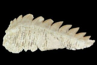 "1.7"" Fossil Cow Shark (Hexanchus) Tooth - Morocco For Sale, #92618"