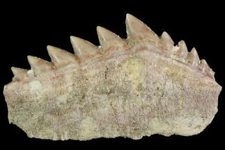 "Buy 1.6"" Fossil Cow Shark (Hexanchus) Tooth - Morocco - #92620"