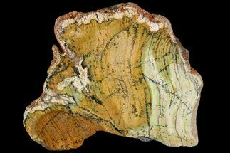 Strelley Pool Stromatolite - Fossils For Sale - #92652