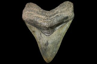 Carcharocles megalodon - Fossils For Sale - #92700