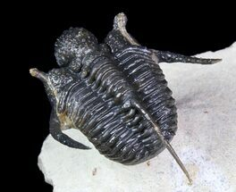 "1.35"" Bumpy Cyphaspis Trilobite - Ofaten, Morocco For Sale, #92921"