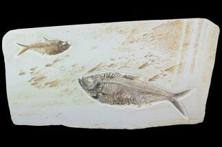 "Buy Beautiful, 28"" Wide Double Diplomystus Fossil Fish - Wall Mount - #92869"