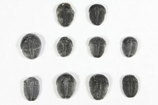 "Buy Wholesale Lot: 1/2"" Elrathia Trilobites - 10 Pieces - #91933"