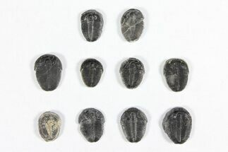 Elrathia kingii  - Fossils For Sale - #91938