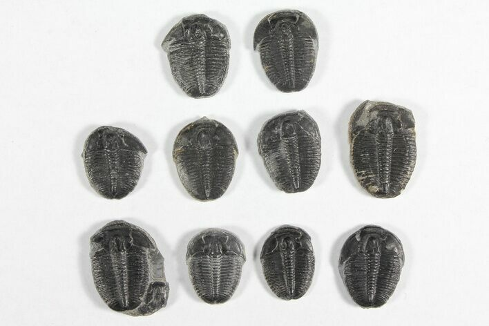 "Wholesale Lot: 3/4"" Elrathia Trilobites - 10 Pieces"