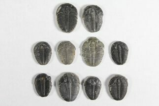 "Buy Wholesale Lot: 3/4"" Elrathia Trilobites - 10 Pieces - #92032"