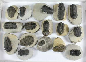 Wholesale Trilobite Fossils For Sale