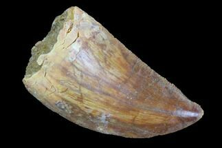 "Buy Serrated, 1.39"" Juvenile Carcharodontosaurus Tooth - #93196"