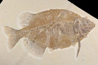 "Buy Bargain, 12.8"" Phareodus Fish Fossil - Wyoming - #93265"