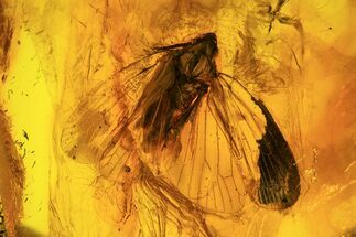 Detailed Fossil Cicada (Hemiptera) In Baltic Amber For Sale, #93863