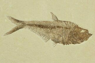 "Detailed, 5.65"" Diplomystus Fossil Fish - Wyoming For Sale, #92888"