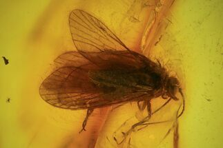 Buy Detailed Fossil Caddisfly (Trichopterae) In Baltic Amber  - #93904