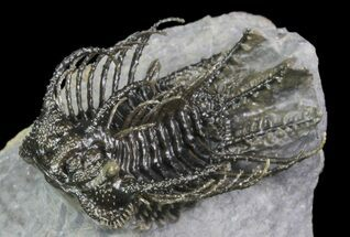 "Buy 1.55"" Spine-On-Spine Koneprusia Trilobite - Spectacular - #93865"