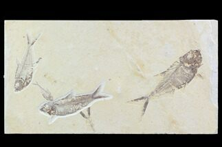 "Buy 12.8"" Fossil Fish Plate (Diplomystus & Knightia) - Wyoming - #93997"