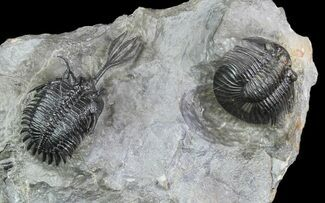 "2.25"" Walliserops Trilobite With Scabriscutellum - Msissi, Morocco For Sale, #93869"