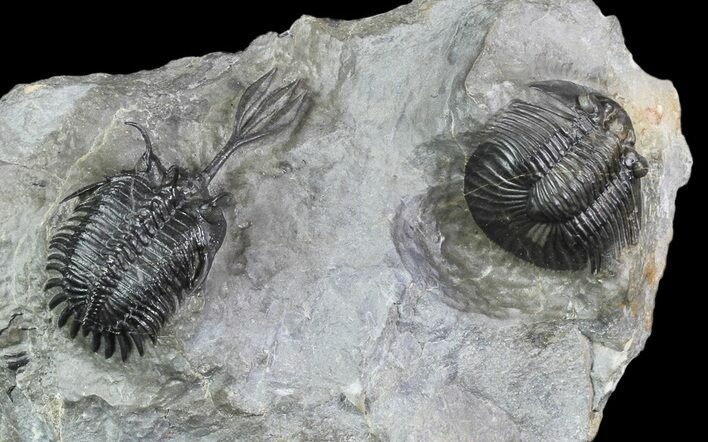 "2.25"" Walliserops Trilobite With Scabriscutellum - Msissi, Morocco"