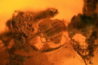 Buy Fossil Pseudoscorpion Exuviae Preserved In Baltic Amber - #94069
