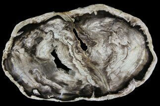 Bald Cypress - Fossils For Sale - #94020