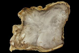 "6.8"" Petrified Wood (Bald Cypress) Slab - Saddle Mountain, WA For Sale, #94040"