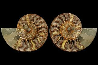 Cleoniceras - Fossils For Sale - #94197