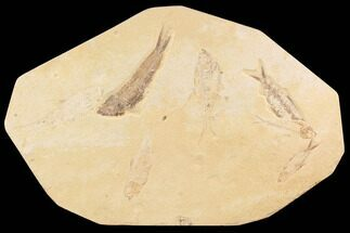 "13.6"" Fossil Fish Plate (Diplomystus & Knightia) - Wyoming For Sale, #91589"