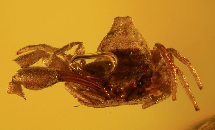 Fossil Pseudoscorpion (Arachnid) Preserved In Baltic Amber
