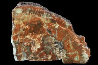 "Buy 7.3"" Vibrantly Colored, Polished Petrified Wood Section - Arizona - #95065"