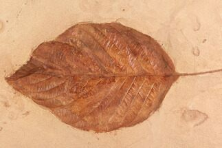 "Large 5.4"" Red Fossil Leaf (Aesculus) - Montana For Sale, #95321"