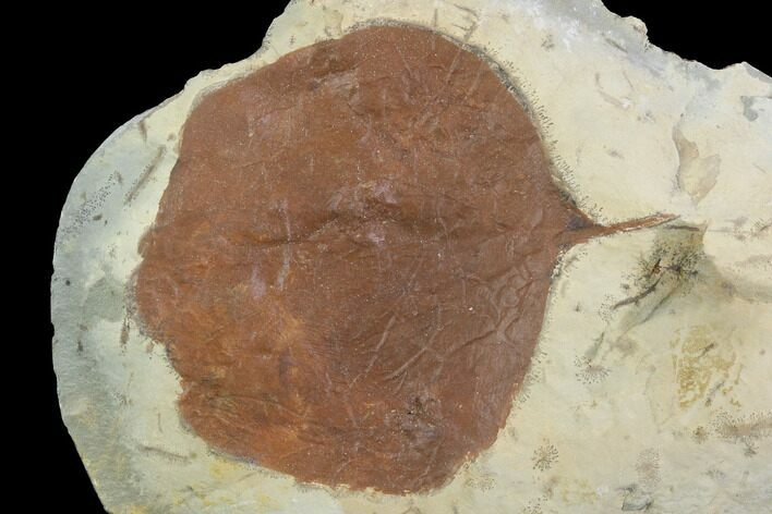 "2"" Detailed Fossil Leaf (Zizyphoides) - Montana"