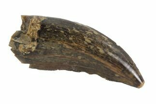 "Serrated, 1.29"" Tyrannosaur Tooth - Judith River Formation, Montana For Sale, #95642"