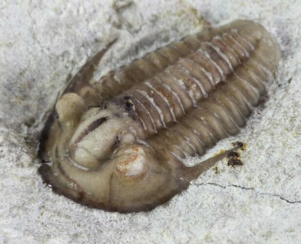 Rare Maorotarion Trilobite - Black Cat Mountain