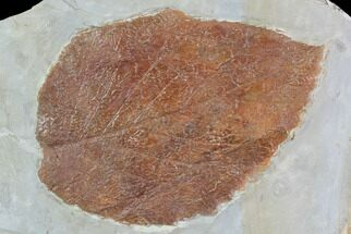 "Buy 3.7"" Detailed Fossil Leaf (Davidia) - Glendive, Montana - #95221"
