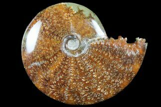 "4.4""  Polished, Agatized Ammonite (Cleoniceras) - Madagascar For Sale, #94265"