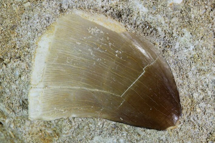 ".9"" Mosasaur (Prognathodon) Tooth In Rock"
