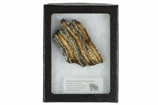 "2.6"" Mammoth Molar Slice With Case - South Carolina For Sale, #95288"