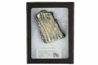 Mammuthus columbi - Fossils For Sale - #95292