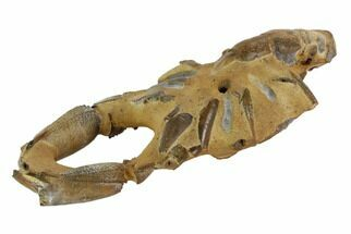 "4.8"" Fossil Mud Lobster (Thalassina) - Australia For Sale, #96308"