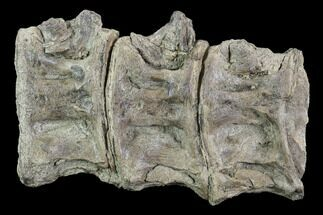 "Buy 4.7"" Three Associated Xiphactinus Vertebrae - Kansas - #96403"