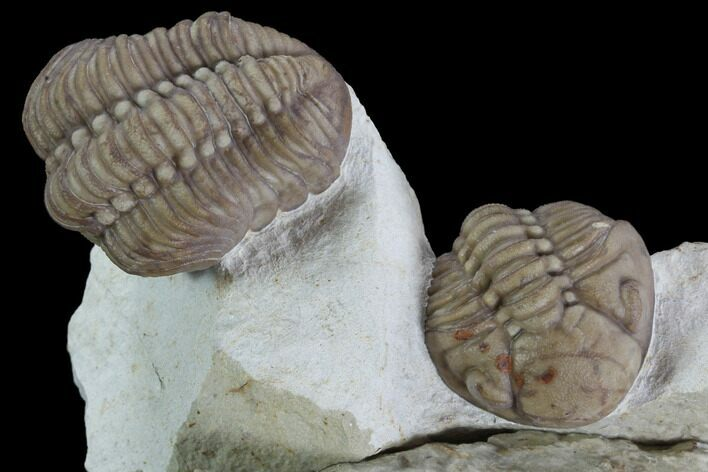 Two Lochovella (Reedops) Trilobites - Black Cat Mountain, Oklahoma