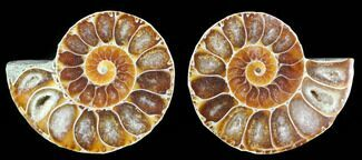"1 1/4"" Cut & Polished, Agatized Ammonite Fossil - Madagascar For Sale, #97205"