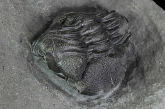 ".65"" Enrolled Eldredgeops (Phacops) Trilobite - New York For Sale, #95945"