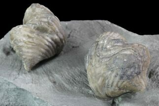 Pair Of Fossil Brachiopods (Platystrophia) - Indiana For Sale, #95957