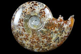 "5.1"" Polished, Agatized Ammonite (Cleoniceras) - Madagascar For Sale, #97361"