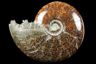 "6.2"" Polished, Agatized Ammonite (Cleoniceras) - Madagascar For Sale, #97364"