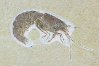 "3.5"" Detailed, Fossil Shrimp - Solnhofen Limestone For Sale, #97514"