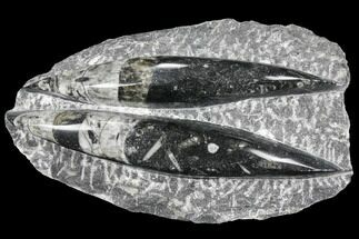 "Buy 5.1"" Polished Orthoceras (Cephalopod) - Morocco - #96643"